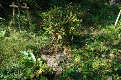 根元を掘り返されたシャクナゲ