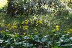 シャクナゲ園のツワブキ