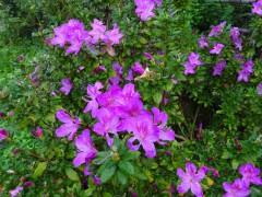 ケーブル山頂駅前のツツジの花