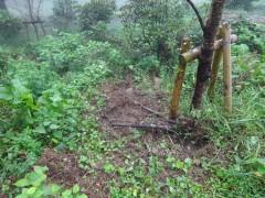 シャクナゲ園の中、イノシシが掘り返した跡