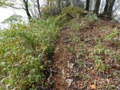 登山道脇に茂り始めたニガイチゴ?