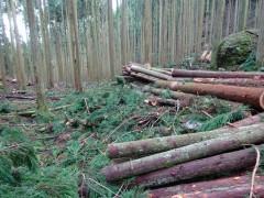 杉林での間伐作業