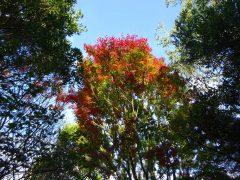 皿倉平の紅葉