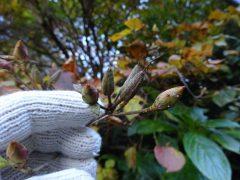 オンツツジの花芽と実