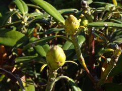 シャクナゲ2009-1の花芽