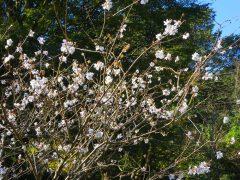 咲き始めた冬桜