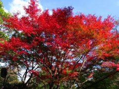 ケーブル登山口上の紅葉