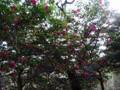 下山路のツバキの花