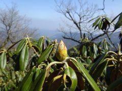 大日岳周辺のシャクナゲの花芽