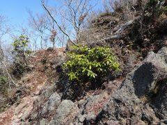 二ノ岳直下露岩帯のシャクナゲ