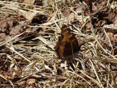 枯草に止まるヒオドシチョウ