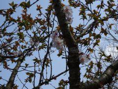 シャクナゲ園の冬桜