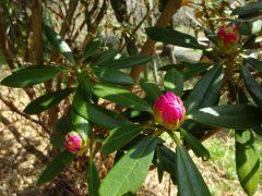 シャクナゲ園で咲いていたシャクナゲ