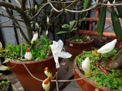 開花した白花ミツバツツジ