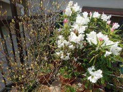 ベランダのミツバツツジ白とアカボシシャクナゲ