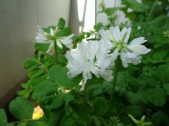 ベランダの白花レンゲソウ
