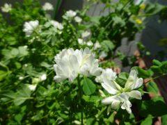 白花レンゲソウ
