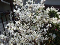 ベランダの白花コバノミツバツツジ