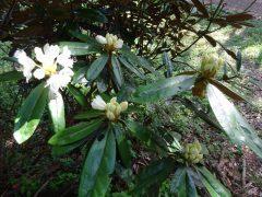 白花シャクナゲ