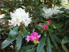 シャクナゲ園の白花シャクナゲ