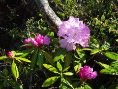二ノ岳直下のシャクナゲの若木の花