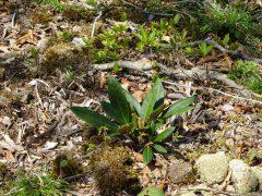 二ノ岳山頂付近のシャクナゲの幼木