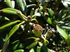 虫に食われた花芽と今年の新芽