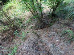 掘り返されたミツバツツジの根元