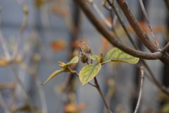 白花コバノミツバツツジの実