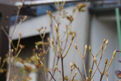 白花コバノミツバツツジの花芽