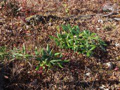 登山道脇のシャクナゲ幼木