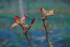 先端の新芽のうち一つだけが芽吹いて残りの芽は来春芽吹く。