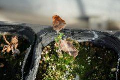 秋に芽吹いた2歳苗、来春の芽吹き可能性小