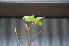 秋に芽吹いた3歳苗