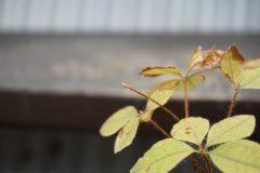 枝先の新芽は一つだが、芽吹いていない。