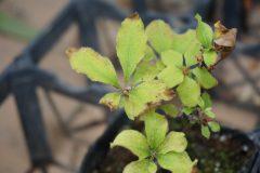 秋に芽吹いた3歳苗、芽は小さい