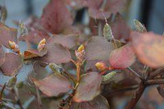 ベランダのミツバツツジの実と花芽