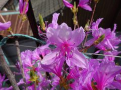 ベランダのミツバツツジの今春の花