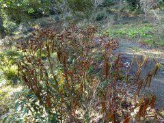 シャクナゲ園で枯れたシャクナゲ