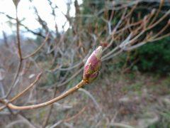 オンツツジの花芽