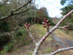 他の桜の花芽