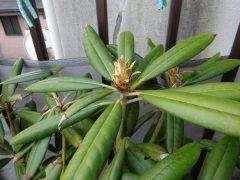 ベランダのシャクナゲの花芽