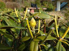 花芽と虫害の枝先