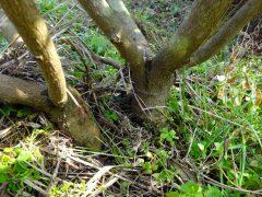 植樹10年目の幹