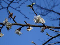 冬の間咲いていた冬桜