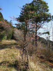 遊歩道脇の桜、遠目では気づきにくい。