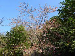 椿園入り口付近の早咲き桜