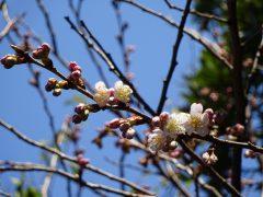 桜の品種は?