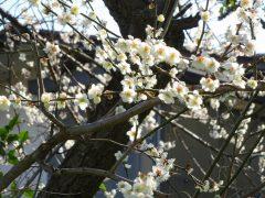 ケーブル駅付近の満開の梅
