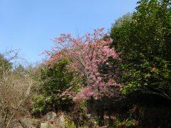 椿園入り口付近の河津桜